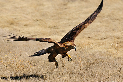 Golden Eagle-9549