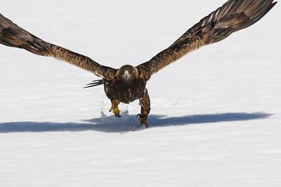 Golden Eagle-3812