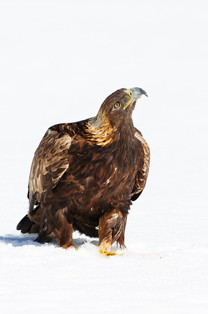 Golden Eagle-8460