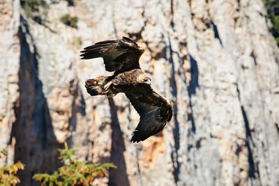 Golden Eagle-3969