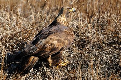 Golden Eagle-3146