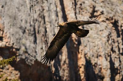 Golden Eagle-3992