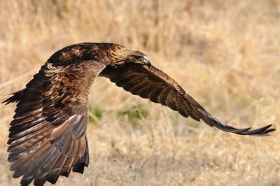 Golden Eagle-9613-Edit
