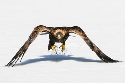 Golden Eagle-3813