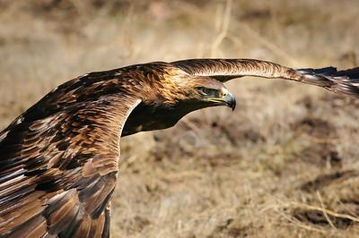 Golden Eagle-3911
