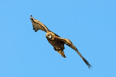 Golden Eagle-8639