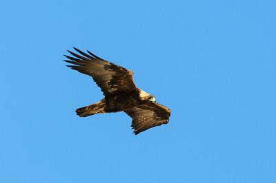 Golden Eagle-8628