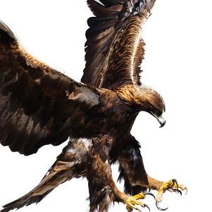 Golden Eagle-3863-Edit