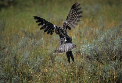 Great Gray Owl-117