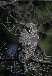 Great Gray Owl-122