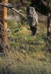 Great Gray Owl-134
