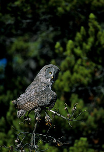 Great Gray Owl-102