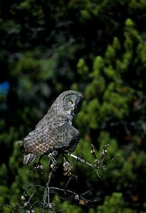 Great Gray Owl-102