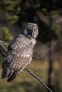 Great Gray Owl-132