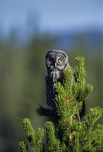 Great Gray Owl-131
