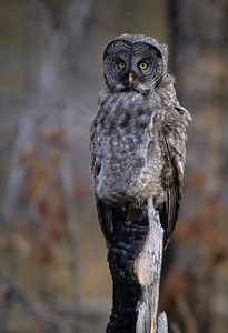 Great Gray Owl-127