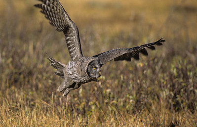Great Gray Owl-108
