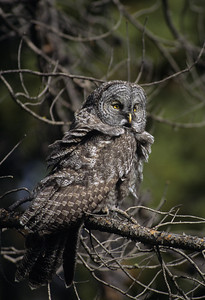 Great Gray Owl-123