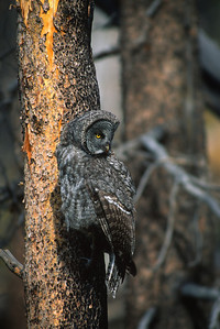 Great Gray Owl-164
