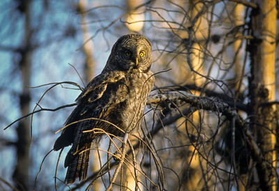 Great Gray Owl-120