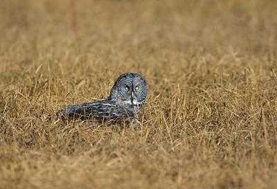 Great Gray Owl-111