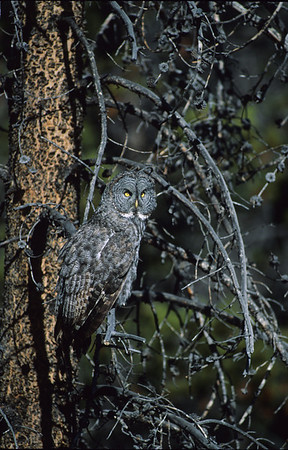 Great Gray Owl-109