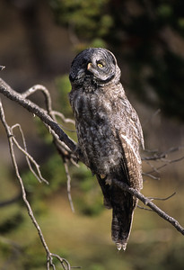 Great Gray Owl-133