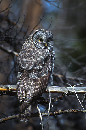 Great Gray Owl-167