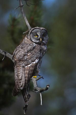 Great Gray Owl-145
