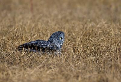 Great Gray Owl-110