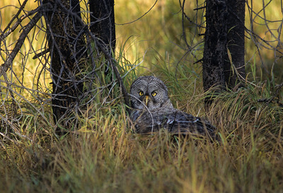 Great Gray Owl-138