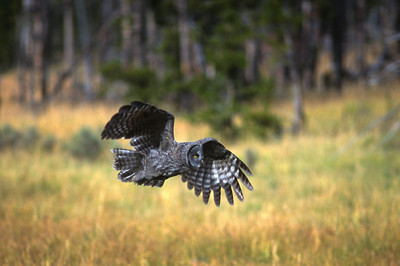 Great Gray Owl-152