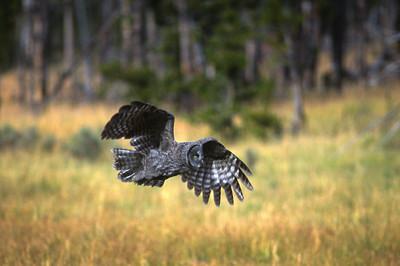 Great Gray Owl-152