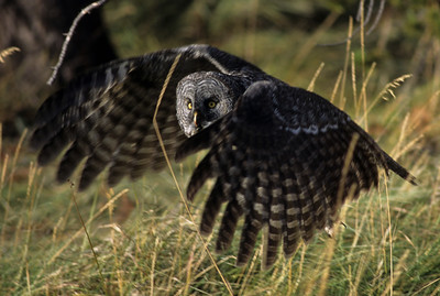 Great Gray Owl-104