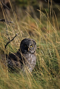Great Gray Owl-135