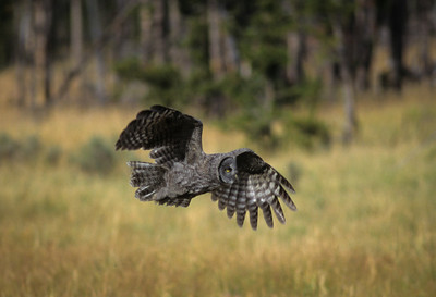 Great Gray Owl-115