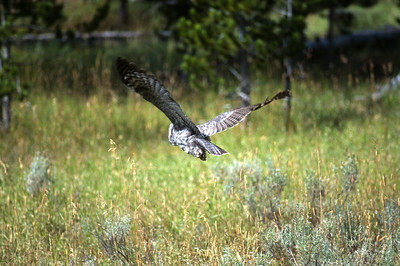 Great Gray Owl-151