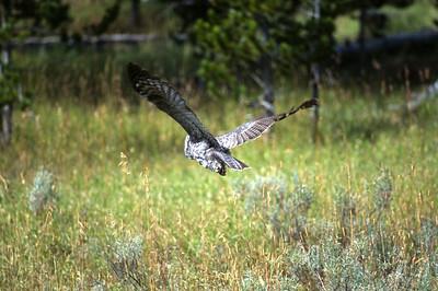 Great Gray Owl-151