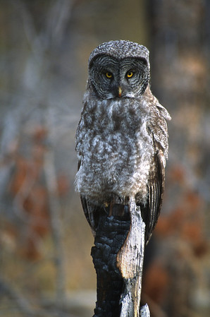 Great Gray Owl-171
