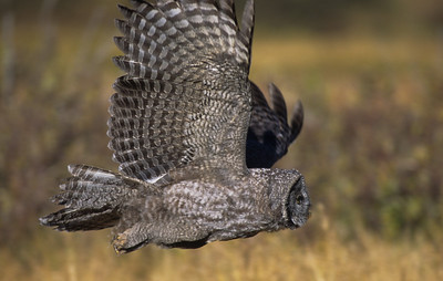 Great Gray Owl-107