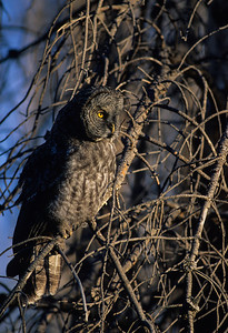 Great Gray Owl-139