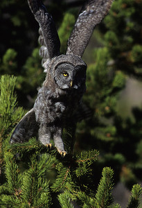 Great Gray Owl-130