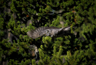 Great Gray Owl-113