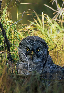 Great Gray Owl-136