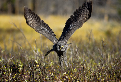 Great Gray Owl-105