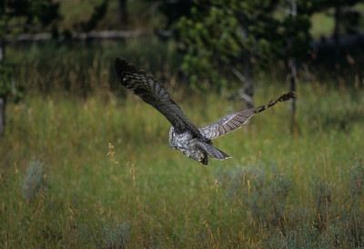 Great Gray Owl-114