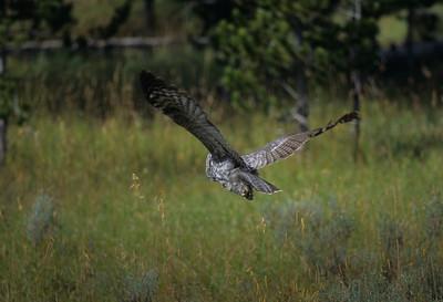 Great Gray Owl-114