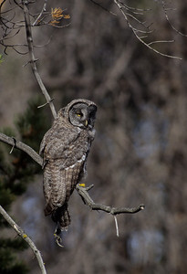 Great Gray Owl-121