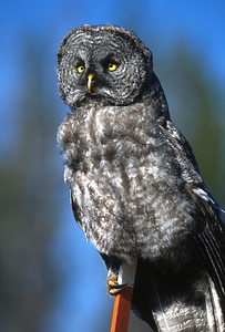 Great Gray Owl-163