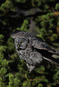 Great Gray Owl-129